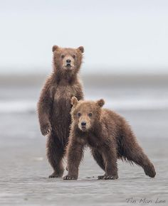 This one always reminds me of my childhood. Spring cub siblings in Katmai National Park, Alaska.