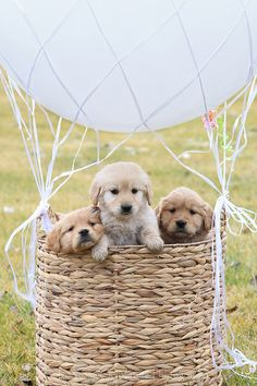 basketful of fluffy puppies