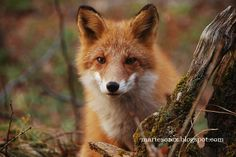The Hokaido Fox of Northern Japan.