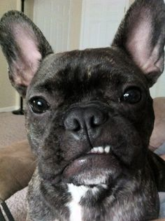 Grrrrrrr. Snarls really shouldn't be this adorable! #frenchbulldog #frenchie Limited Edition French Bulldog Tee
