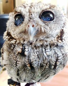Zeus, the cosmic owl with a galaxy in its eyes.  This adorable Screech Owl is blind and likely has vitreous strands in his eyes causing this stellar effect. He now lives safely in captivity at the Wildlife Learning Center in Los Angeles.