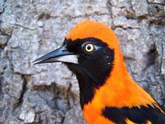 orange-backed troupial, Icterus croconotus (2)