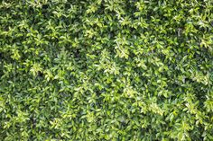 Pattern green plant wall texture and background - Stock Photo - Images