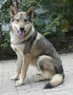 best images and pictures ideas about czechoslovakian dog - dogs that look like wolves Tamaskan Dog, Animals And Pets, Cute Animals, Czechoslovakian Wolfdog, Saarloos, Wolf Images, Sweet Dogs, Different Dogs, Types Of Dogs