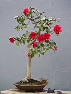camellia japonica bonsai