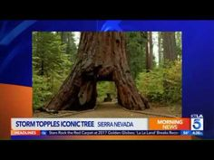 Farewell: Legendary  'Pioneer Cabin Tree' Uprooted By A Deadly Storm In California : Nature & Environment : Science World Report