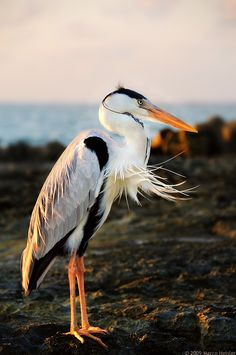 beauty-rendezvous:  A heron (ardea cinerea) at the Maldivian coast at sunset(via Still Waiting by Marco Heisler / 500px)