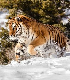 """beautiful-wildlife: """"Amur Tiger by © suhaderbent """" Animals Images, Animals And Pets, Big Cats, Cool Cats, Beautiful Cats, Animals Beautiful, Save The Tiger, Gato Grande, Cat Species"""