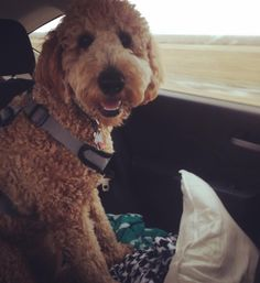 Heading to Michigan to ring in the new year at home. What are your resolutions? Mine is to get better at loose leash walking! #goldendoodle #goldendoodles #doodle #doodles #doodlesofinstagram #doodlesofinsta #goldendoodlesofinstagram #puppylove #puppy #puppiesofinstagram #dailydoodle #dogsofinstagram #dailyfluff #weeklyfluff #doodlelove #dailydoseofcute #aplacetolovedogs #yourdogstoday #fluffypack #golden #poodle #dogstagram #dailybark #dailypuppy #dog #goldendoodlecentral #lacyandpaws by…