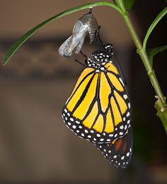 This photograph was taken seconds after the monarch emerged from its chrysalis
