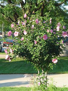 high maint., insects disease. bloom mid summer to early fall. Click to view full-size photo of Aphrodite Rose of Sharon (Hibiscus syriacus 'Aphrodite') at Squak Mountain Nursery
