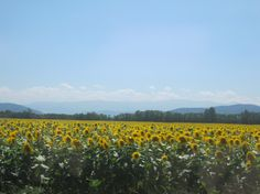 Check out these stunning sunflowers in sunny Besset, France