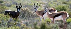 SPRINGBOK is national animal of South Africa. Other national symbols:Blue crane (bird),.Galjoen (fish),  King Protea (flower), Yellowwood (tree)