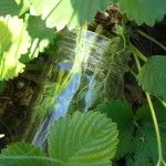 We were always looking for a way to stop slugs from eating our strawberries.  Here's a quick solution that seems to work. - See more at: http://visiblygreenliving.com/protect-those-berries/#sthash.QSBS6r6A.dpuf