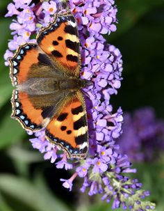 Tortoiseshell on budlia Butterfly Kisses, Butterfly Flowers, Butterfly Wings, Beautiful Butterflies, Beautiful Flowers, Beautiful Creatures, Animals Beautiful, Butterfly Species, Cool Bugs