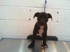 ASHLEE (A1669418) I am a female black and white Pit Bull Terrier mix.  The shelter staff think I am about 13 weeks old.  I was found as a stray and I may be available for adoption on 12/30/2014. Miami Dade https://www.facebook.com/urgentdogsofmiami/photos/pb.191859757515102.-2207520000.1419880478./899044380129966/?type=3&theater