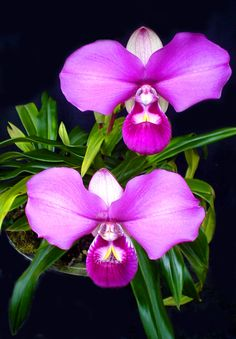 Phragmipedium kovachii, the most wonderful orchid in the world ia a Peruvian endemic terrestrial orchid.