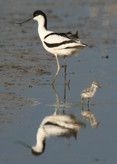 Avocets, common visitors to Minsmere RSPB reserve
