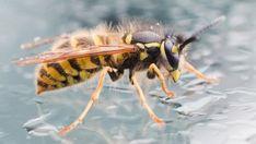 Cochem: Lehrer müssen nach Wespenstich-Behandlung Geldstrafen zahlen - SPIEGEL ONLINE Spiegel Online, Gabel, Animals, Insects, Animales, Live And Learn, Wasp, Numbers, Kids