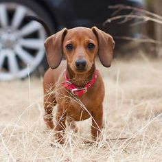 Looks like my fur baby! Dachshund Art, Dachshund Puppies, Weenie Dogs, Baby Puppies, Baby Dogs, Doggies, Miniature Dachshunds, Cute Funny Dogs, Super Cute Animals
