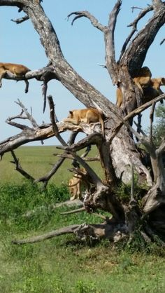 Lions, so many lions in one tree!