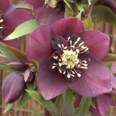 Buy lenten rose / hellebore Helleborus × hybridus 'Pretty Ellen Red': Delivery by Crocus