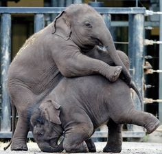Baby elephants Lik Chai (l.) and Pathai Harn (r.) get into a play fight at the Taronga Zoo.
