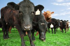 There are important differences between the lives — if not the deaths — of organically raised cattle and their conventional, feedlot-bound siblings.
