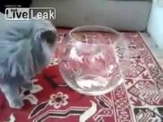 Cat Hangs Out in Fish Bowl Because He Doesn't Give a Shit