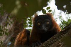 red ruffed lemur (Varecia rubra) Artis Zoo Amsterdam 2017