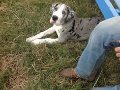 Taking it all in|Aden~Great Dane puppy