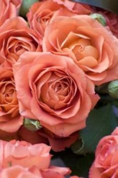 roses.♥