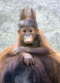 baby-orangutan, dippity doooo