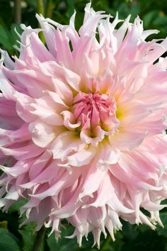 Dahlia 'Lace Ydille' Beautiful gorgeous pretty flowers