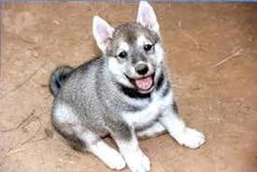 Image result for east siberian laika puppies