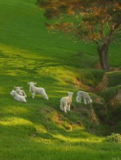 "Spring Lambs on Spring Grass ~ New Zealand! ""Where sheep may safely graze"". Farm Animals, Animals And Pets, Cute Animals, Beautiful Creatures, Animals Beautiful, Spring Lambs, Sheep And Lamb, Baby Sheep, Tier Fotos"