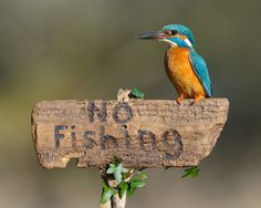 'Kingfisher No Fishing' - photo by Dean Mason, via 500px    ...Obviously, he can't read...