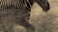 A zebra gallops.
