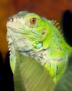 Victoria, der Leguan Terrarium, Sarasota Jungle Gardens, Reptile Show, Green Iguana, Canada Images, Reptiles And Amphibians, Tortoises, Victoria, Small Birds
