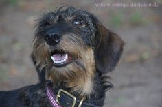 wirehaired dachshunds - Google Search