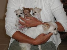 14 Signs You Are A Crazy Chihuahua Person Chihuahua Puppies For Sale, Baby Chihuahua, Puppies And Kitties, Teacup Chihuahua, Baby Puppies, Baby Dogs, Cute Puppies, Cute Dogs, Doggies