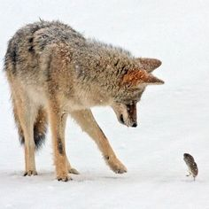 A Courageous Vole takes on a Coyote a hundred times his size in Yellowstone National Park, Wyoming. The tiny Rodent's chances of survival looked slim when he was plucked out of the snow by the Hungry Predator but he stood his ground