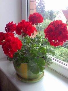 Do you want the geranium to bloom all year round - House Plants Container Gardening, Gardening Tips, Flowers Gif, Red Geraniums, Plant Needs, Plantation, Farm Gardens, Herb Garden, My Flower