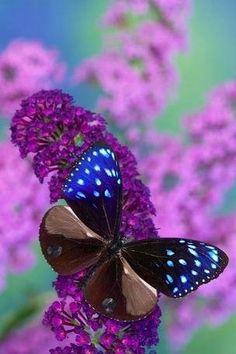 Upperstripe blue crow Butterfly via Bird's Eye View at www.Facebook.com/aBirdsEyeViewForYou