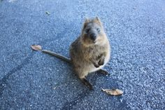 Quokka- cat-sized marsupial, basically the happiest critter I've ever seen