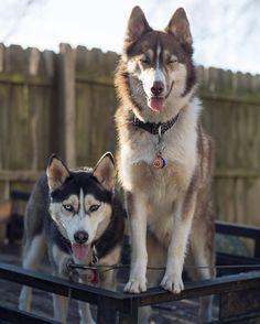Huskies :P
