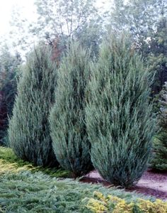 Juniperus scopulorum 'Skyrocket'