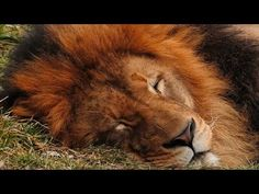 The lion sleeps tonight [10 hours]