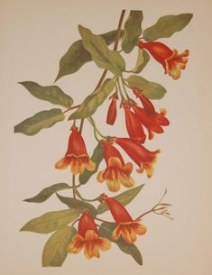 Vintage botanical print from 1925 by Mary Vaux Walcott titled Crossvine, stamped with initials and dated bottom left. Vintage Botanical Prints, Botanical Drawings, Botanical Flowers, Botanical Art, Mural Painting, Fabric Painting, Designs To Draw, American Art, Flower Art