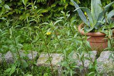 Pfirsich - vom Kern zur Pflanze